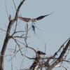 Osprey_nest_3