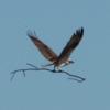 Osprey_nest_3-2