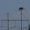 Osprey_nest_1_march_16