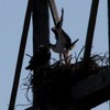 March_16__2012_osprey_nest_3