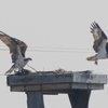 Valley_brook_ospreys