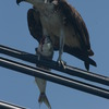 Osprey_on_wire_with_bluefish