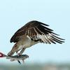 Osprey_with_catfish