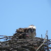 Photo_of_osprey_chick
