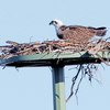 Imgp1363_-_osprey_nest_building_june_2015_for_web