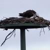 Imgp2052_-_nesting_osprey