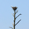 Osprey_and_herons_2