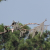2667-young_osprey_with_fish-spring_lake_dscn0469