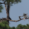2667-young_osprey_with_fish-spring_lake_dscn0478