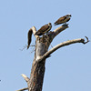 Osprey_and_herons_3
