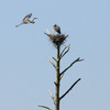Osprey_and_herons_4