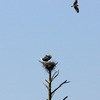 Osprey_and_herons_5