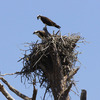 Osprey_pair_on_nest_fp_3-25-12_(84)_s