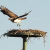Img_1238_-_osprey_-_female_ffb