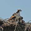 Osprey___chick_6290