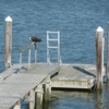 2015_osprey_chick_on_our_dock