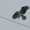 Fledging_osprey_424