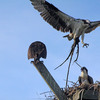 Osprey_nest_materials_8210