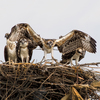 Osprey_flying_school_by_steve_rossi