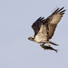 Osprey_with_fish_in_flight_by_steve_rossi