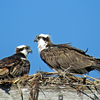 Mama_and_papa_osprey_in_the_nest_feb_14_book