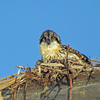 Portrait_of_an_osprey_chick__square_book