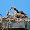 Youngest_chick_and_mama_osprey_may_10_book