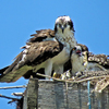 Mama_osprey_and_the_olderst_chick_may_10_book