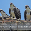 Osprey_chicks_at_8_weeks_may_27_book