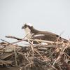 Ospreys-7