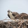 Ospreys-3