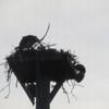 Ospreyhatchlings