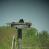 Osprey_nests_3-27-2012_009
