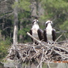 Osprey_pair_ql_marina