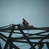 Osprey_nests_3-27-2012_020