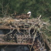 Osprey_nests_3-27-2012_038