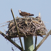 Ospreyn_2596__03-15-16_mate_on_nest_and_mate_nearby_post
