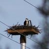 Osprey_nest_spence_grayson_01