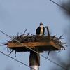 Osprey_nest_spence_grayson_02