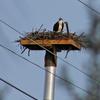 Osprey_nest_spence_grayson_03