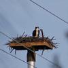 Osprey_nest_spence_grayson_04