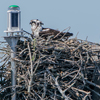 Osprey_nest__490