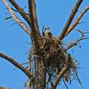 Osprey_nesting_2915