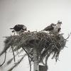 Ospreys__2