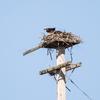 Osprey_at_ayers_isl_l*08_nest_4-19-16