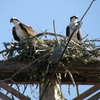 Mill_pond_nest__8