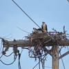 Osprey_nest_on_utility_pole_-_tr_(3)_judy_colagiovanni_tunis