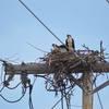 Osprey_nest_on_utility_pole_-_tr_(3)_judy_colagiovanni_tunis