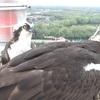 Abcc6_osprey_nest
