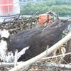 Osprey_eggs_may_9
